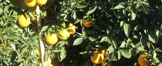 Conoce la maduración de la naranjas de LaMejorNaranja