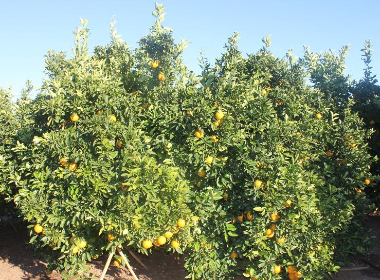 Para dormir bien, hojas de naranjo