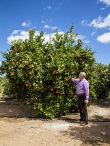 Luis Serra revisando la floración de los naranjos en primavera.