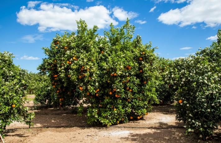 Naranjos en primavera con naranjas y flor de azahar