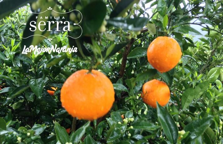 la-lluvia-beneficia-o-perjudica-a-las-naranjas